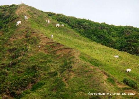 cattles-grazing